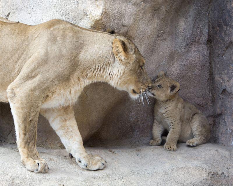 2_lion_cubs_02-86eab2f089d39b28ac18371411309042