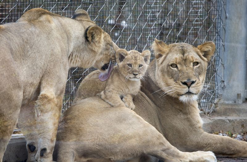 4_lion_cubs_04-a786ef24a9988fd9b0b8300a499ae9fe