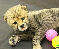 Cheetah Cub Gets A Helping Hand