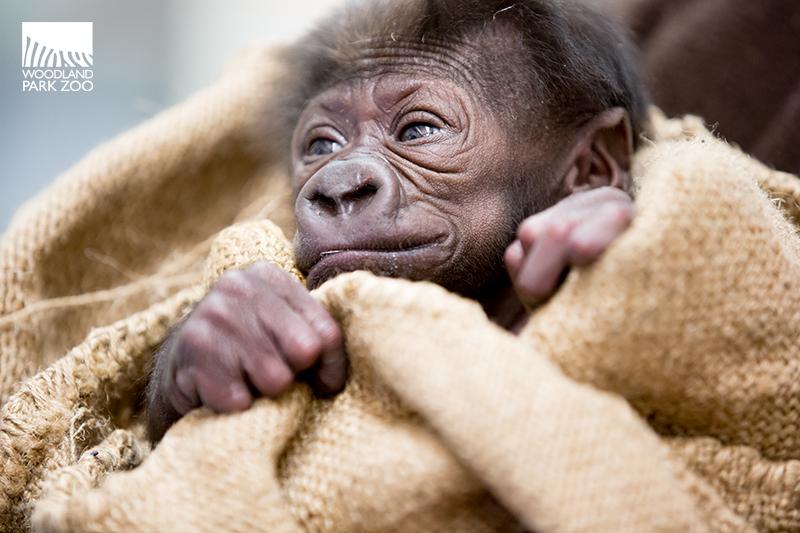 4_15_12_2 Gorilla Baby JDL-3