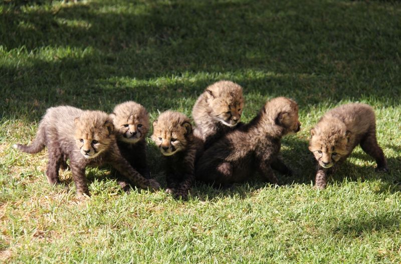 2_All cheetah cubs