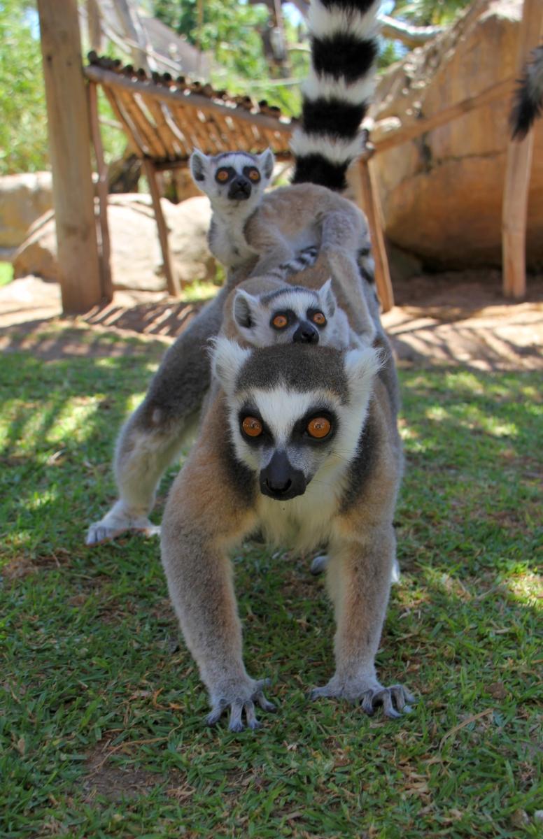 3_Lemur twins