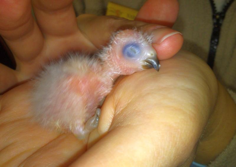 5_Lorikeet chick