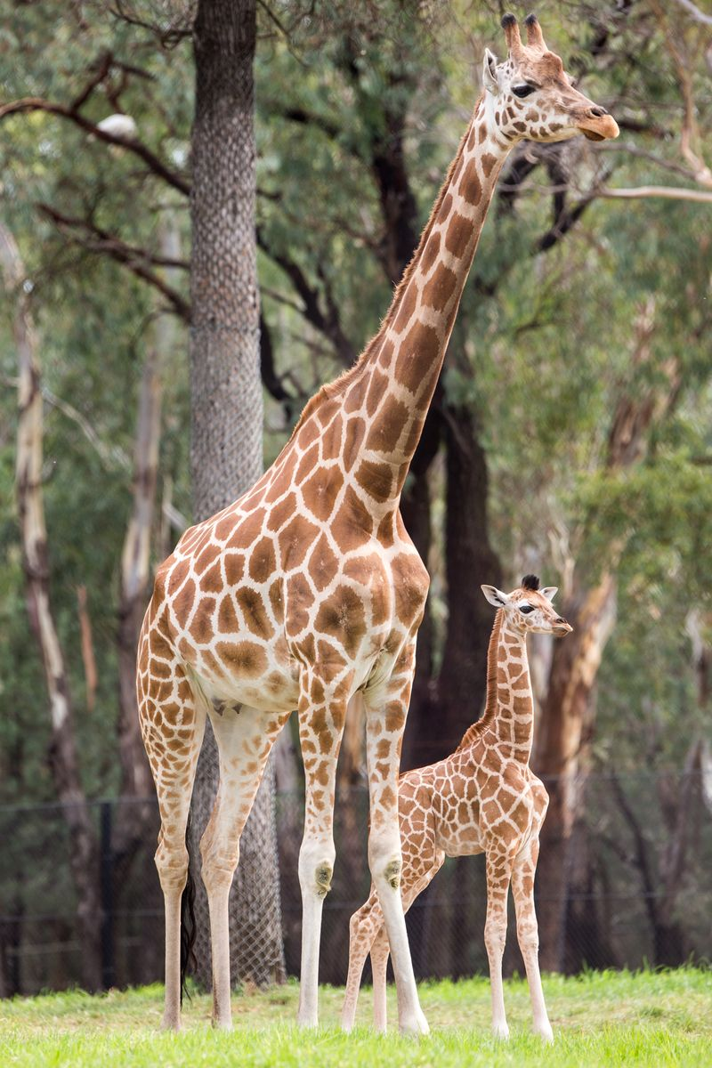 Baby Giraffe Arrives With the New Year - ZooBorns