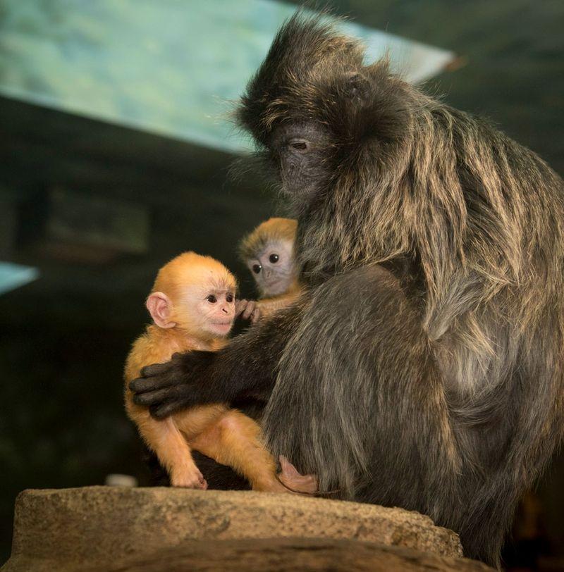 Langur 6723 - Grahm S. Jones, Columbus Zoo and Aquarium