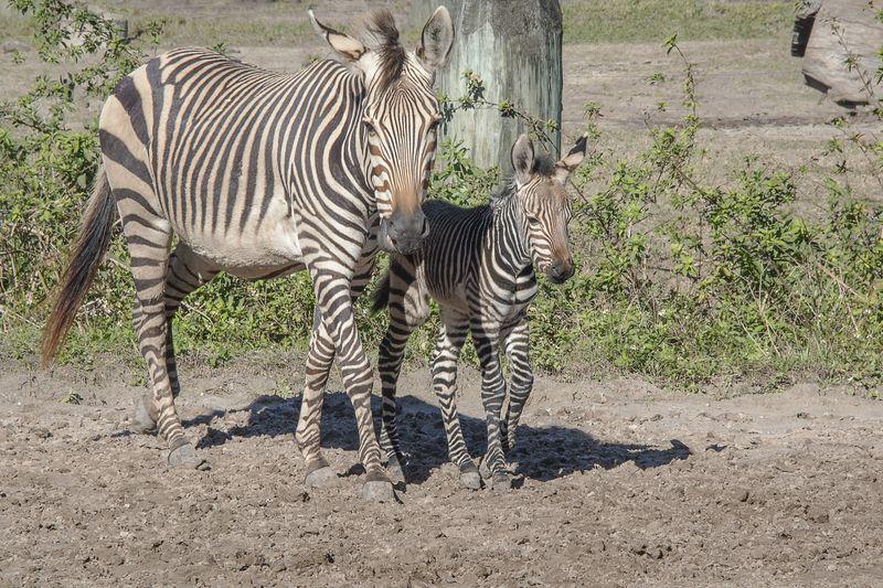 5_Africa Hartmann's mountain zebras Roxie and foal 1 jan 18 2016