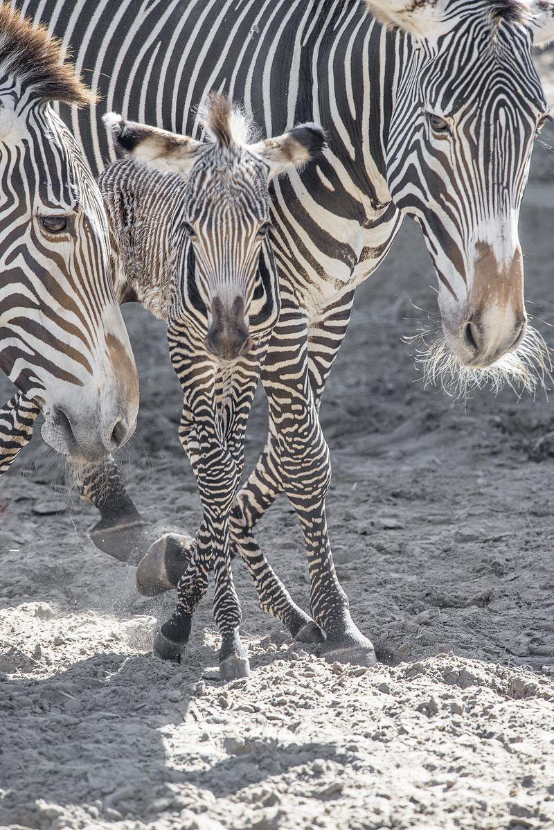 6_Grevy's zebra Penzima (mom) Penda (foal) Pixie (grandmother) nov 23 2015