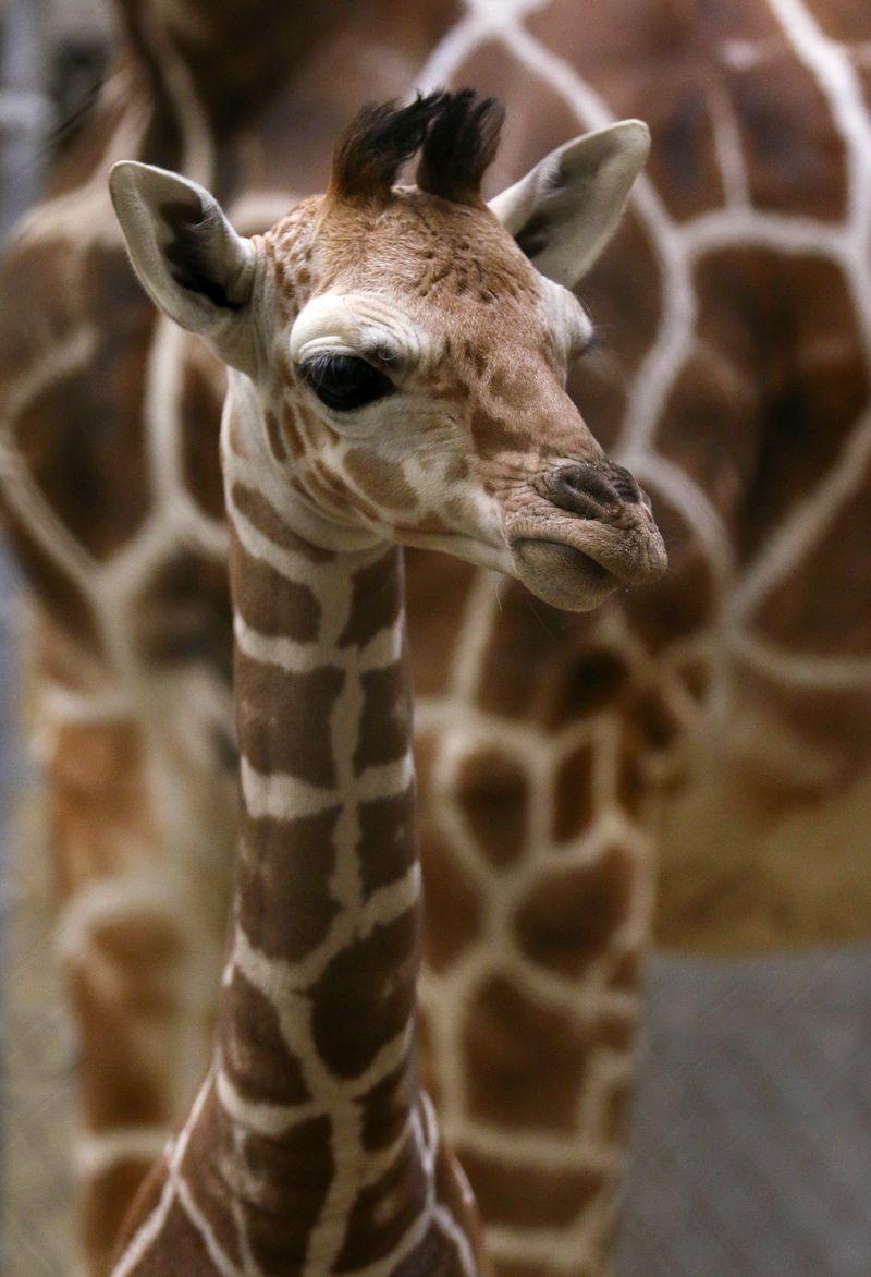 Giraffe calf1-Carla Knapp
