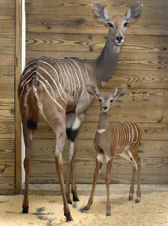 1_Lesser kudu Meringue & calf Kaiser_JFB6906