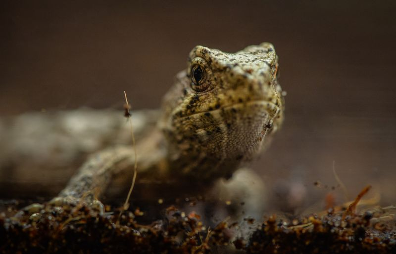 1_A unique tuatara has hatched at Chester Zoo. It's the world's first ever breeding of the species outside of their native New Zealand.  (1)