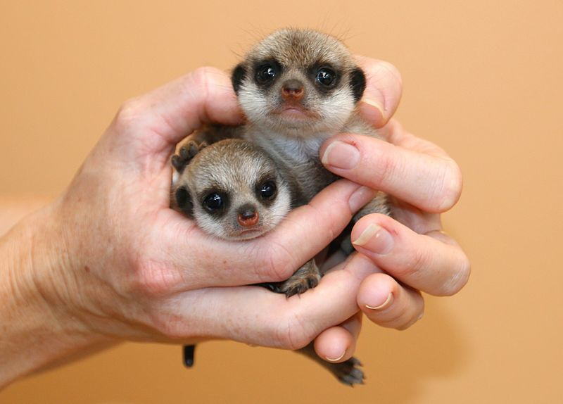 Meerkat Pups_Photo by Paul Fahy (5)