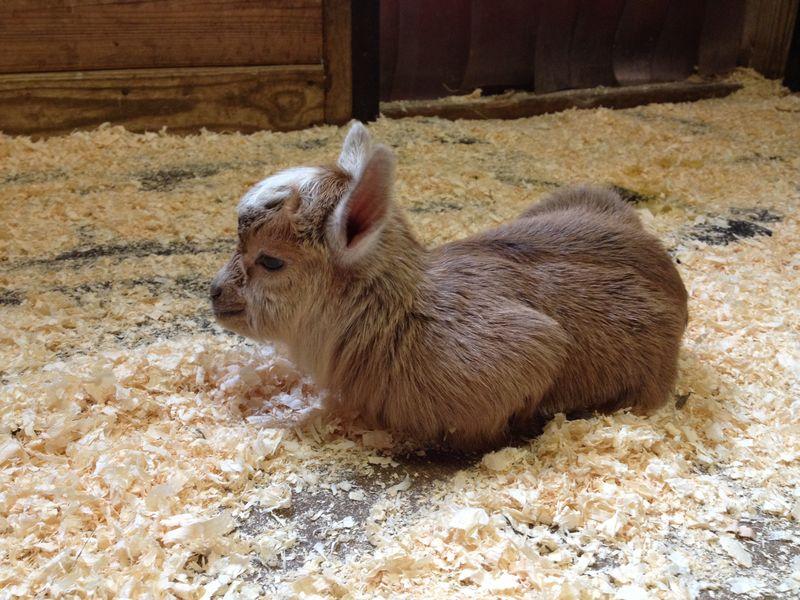 3_baby goat
