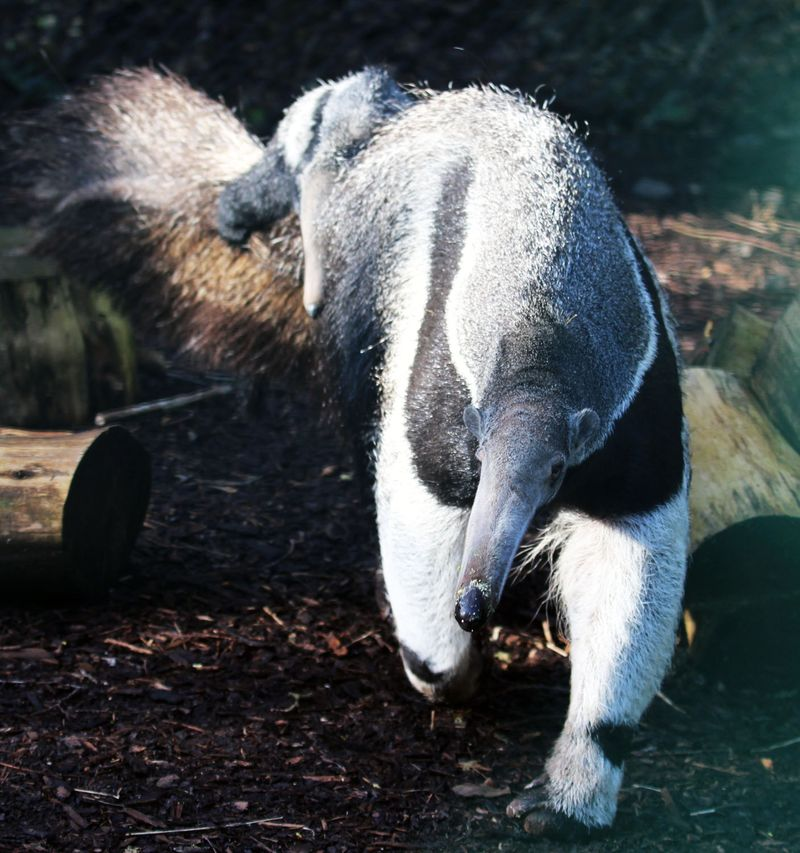 3_(2)  Belfast Zoo welcomed a baby giant anteater on 22 December 2016!