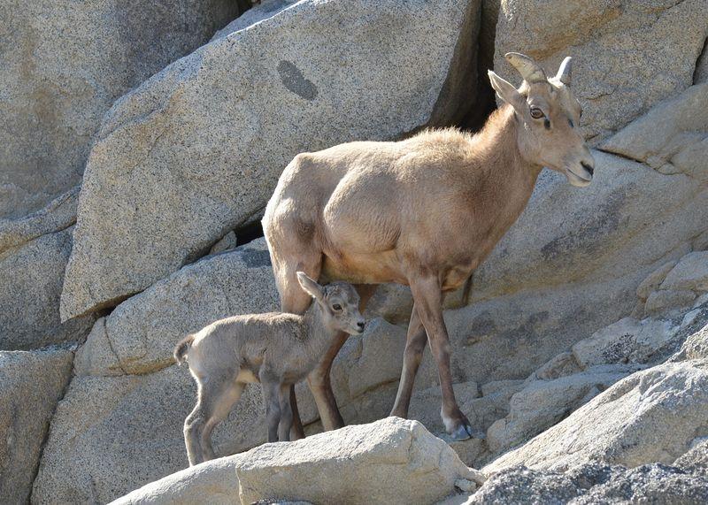 1_Bighorn Lamb Feb 2016 - 3