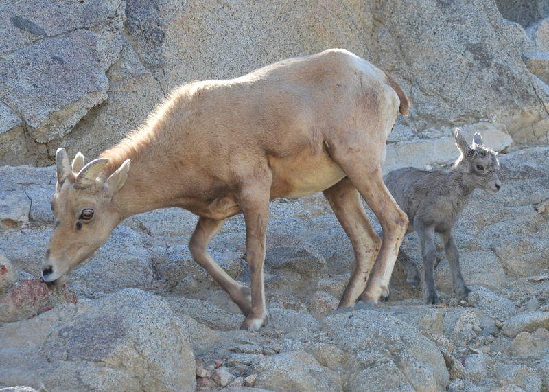 3_Bighorn Lamb Feb 2016 - 2