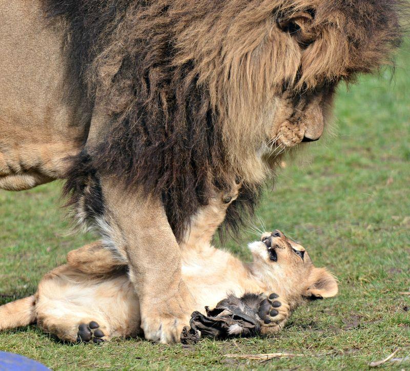 Zuri and cub playing