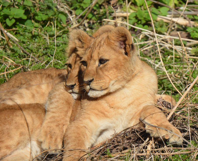 Cubs cuddle time cc