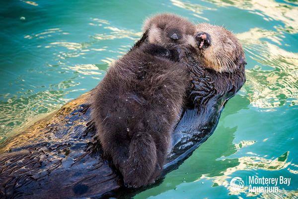 Wild Sea Otter Gives Birth At Monterey Bay Aquarium Zooborns