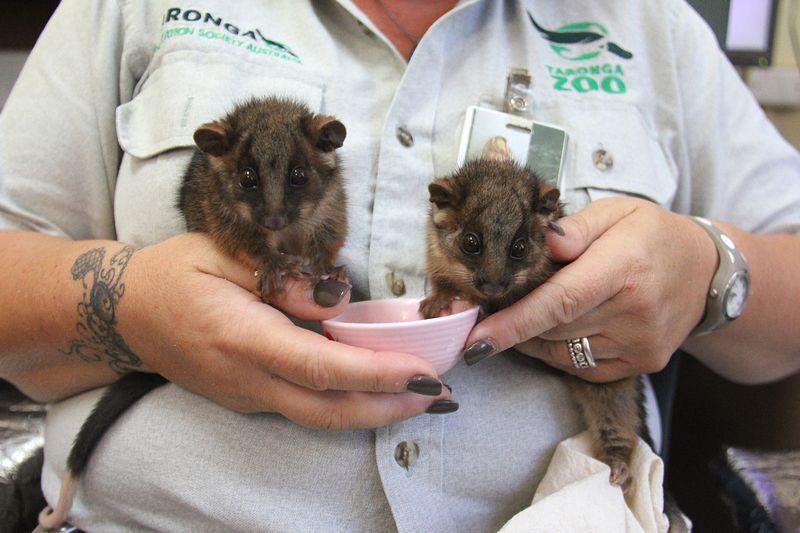 4_Possum Twins (2)