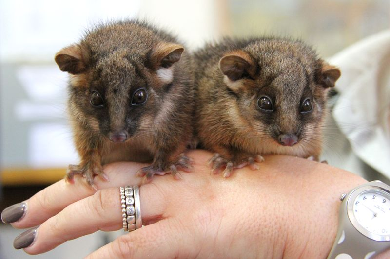 9_Possum Twins (5)