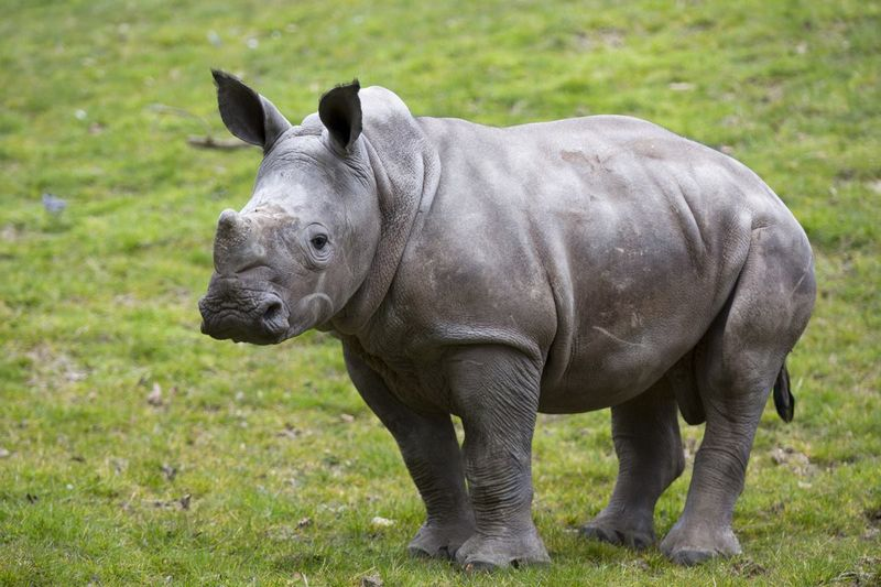 2_Zoo de Beauval's White Rhino calf