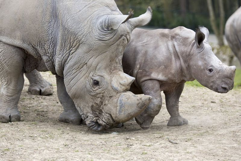 Small (but Strong) Rhino Calf Debuts at Zoo de Beauval