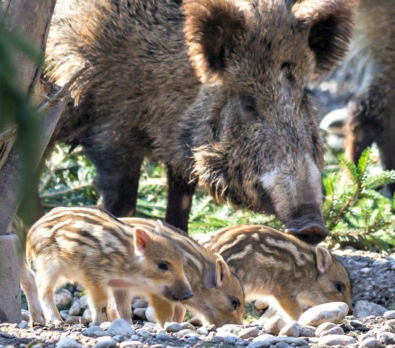 Wildschweine_mit_jungtieren_ZO27268