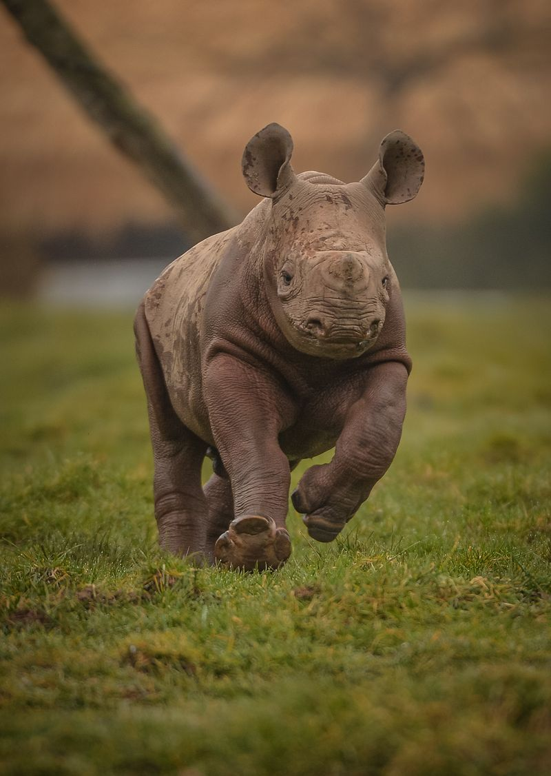3_Mud, glorious mud! Two-month-old Eastern black rhino calf, Gabe, charges through a mud wallow at Chester Zoo (19)