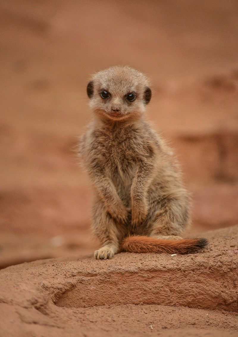 4_Meerkat pups at Chester Zoo (33)