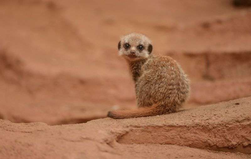 5_Meerkat pups at Chester Zoo (22)