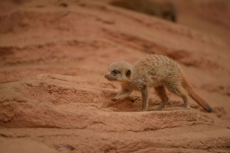 8_Meerkat pups at Chester Zoo (12)