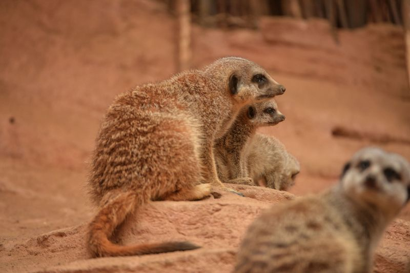 9_Meerkat pups at Chester Zoo (6)