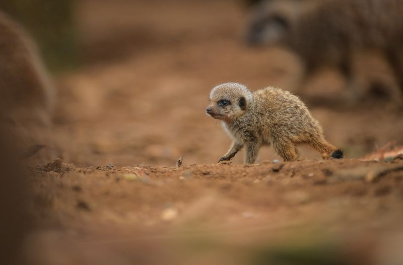 11_Meerkat pups at Chester Zoo (43)