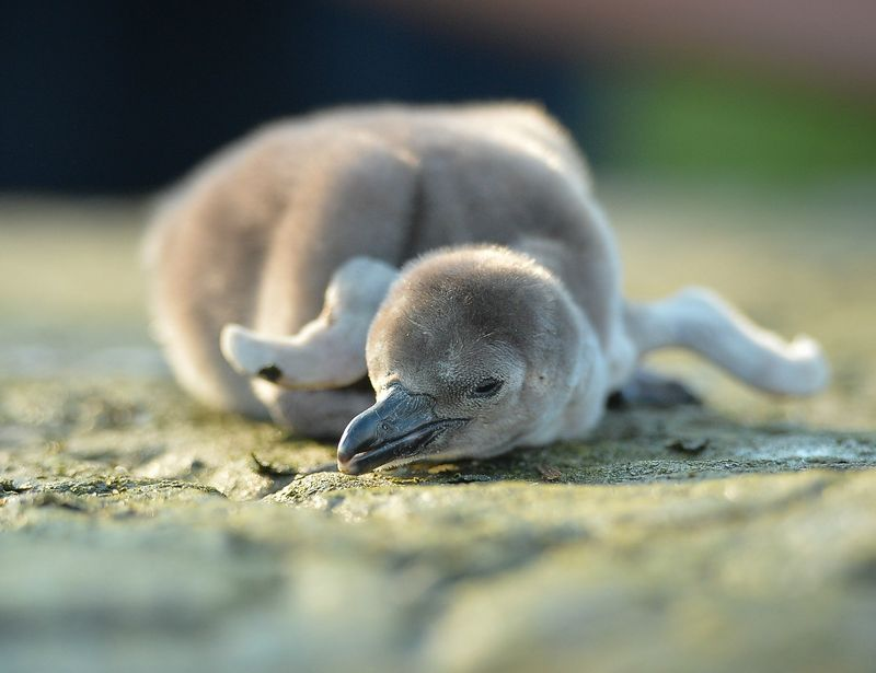 Penguin chick Wotsit is weighed by keepers at Chester Zoo (8)