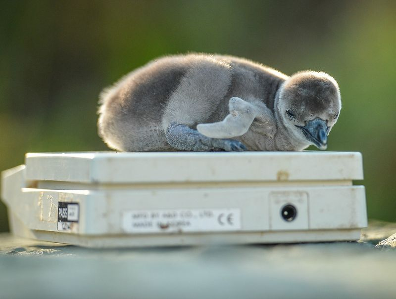 Penguin chick Wotsit is weighed by keepers at Chester Zoo (4)