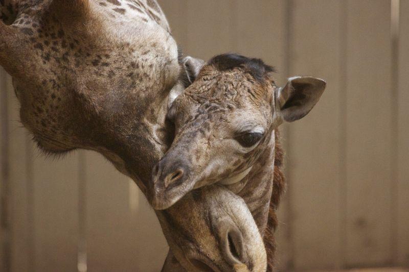 2_SB Zoo Baby Giraffe 3.28.16_2