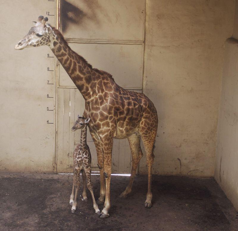 6_SB Zoo Baby Giraffe 3.28.16_6