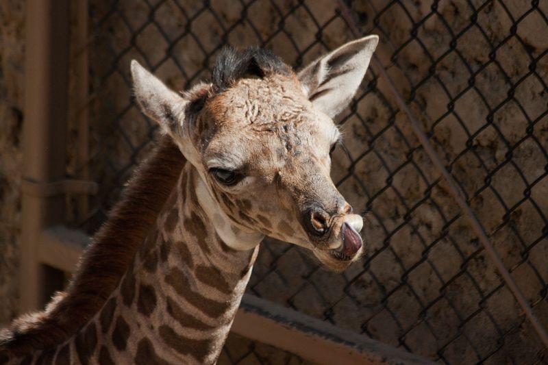 8_SB Zoo Baby Giraffe_Chad 3.30.16_7