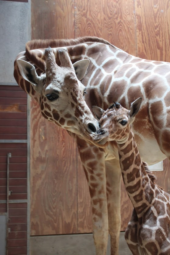 3_SF zoo giraffe calf 2