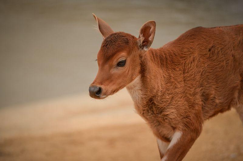 3_A rare banteng calf, named Jasmine, has been born at Chester Zoo (7)