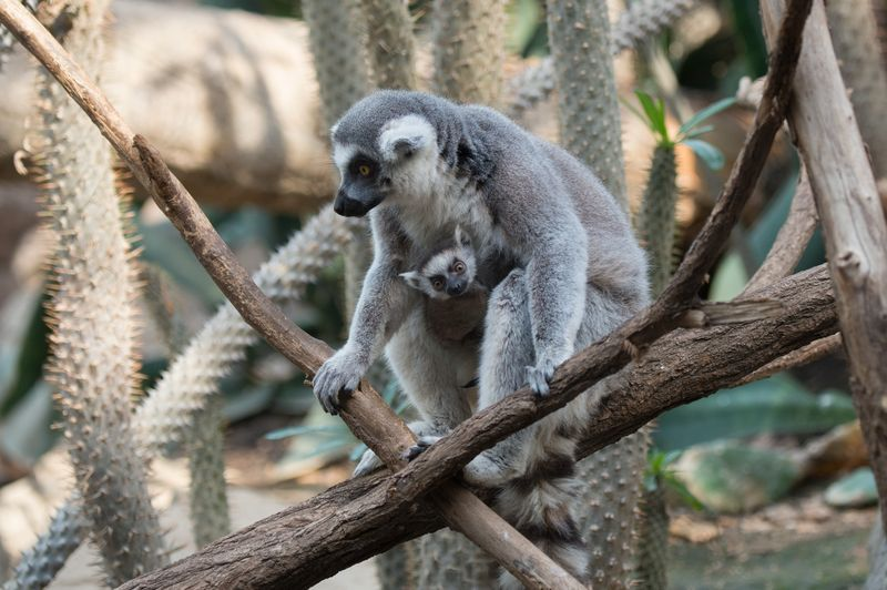 1_Julie Larsen Maher_5710_Ring-tailed Lemur and Baby_MAD_BZ_04 05 16_hr