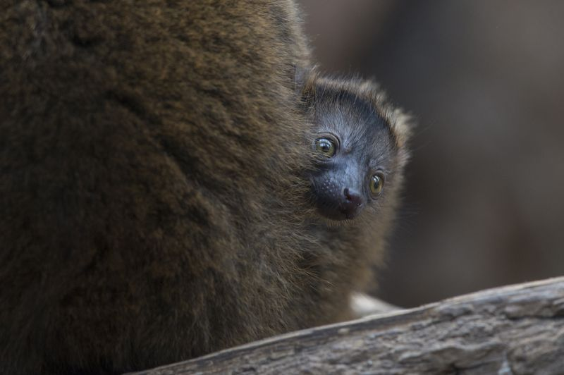 3_Julie Larsen Maher_9139_Collared Lemur and Baby_MAD_BZ_04 14 16