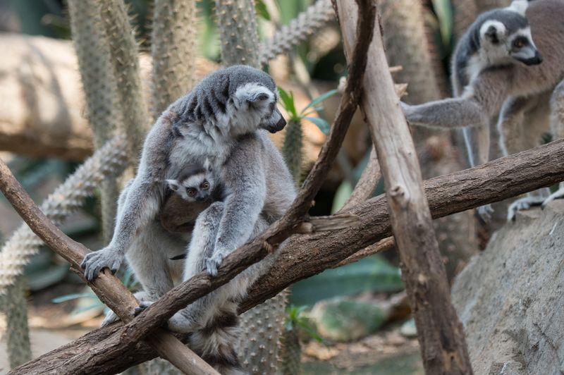 6_Julie Larsen Maher_5703_Ring-tailed Lemur and Baby_MAD_BZ_04 05 16_hr