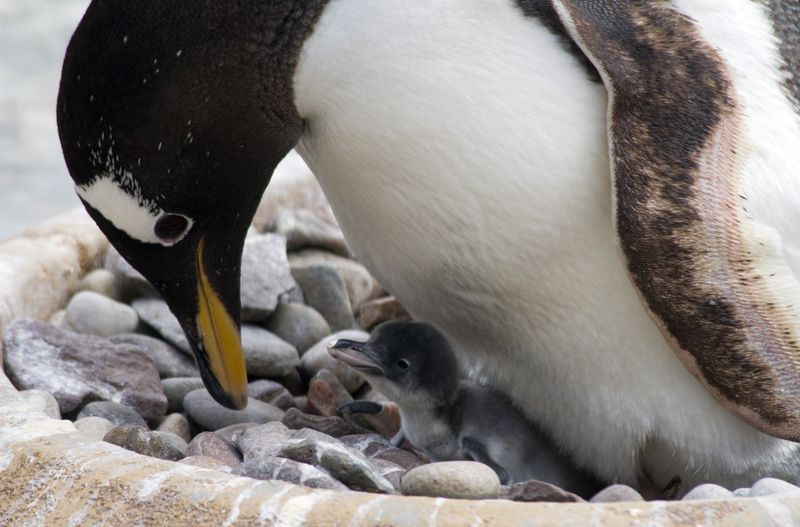 3_16_05_09_GentooPenguin_Chick_08_CR_KatiePaton