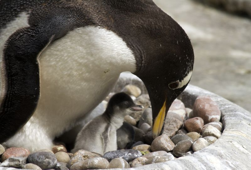 4_16_05_06_GentooPenguin_Chick_08_CR_KatiePaton