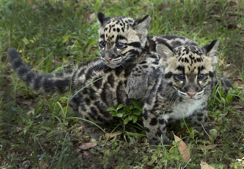 1_TLPZ Clouded leopard cubs (8) by Lia Nydes