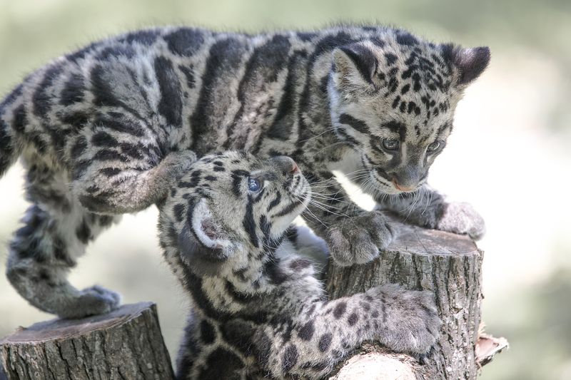 4_TLPZ Clouded leopard cubs (3) by Dave Parkinson