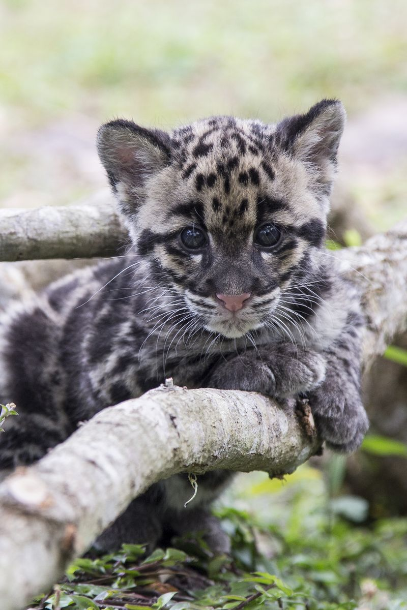 9_TLPZ Clouded leopard cubs (10) by Zootastic