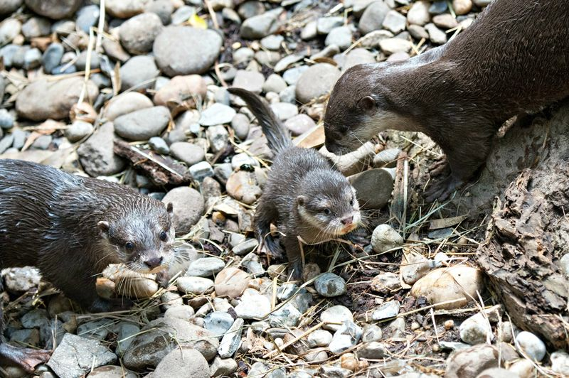 Julie Larsen Maher_5826_Asian Small-clawed Otter_JUN_BZ_04 06 16_hr
