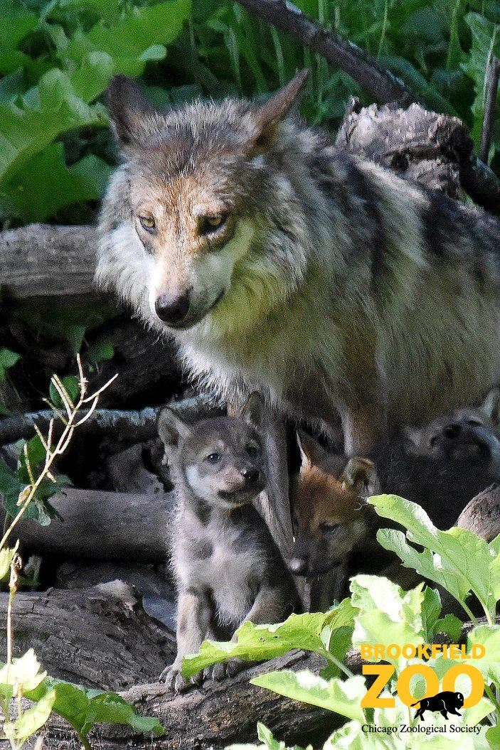 10_Gray Wolf Mom Zana and her first litter in 2015